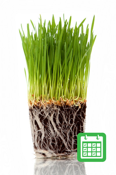 Ready Grown Cat Grass