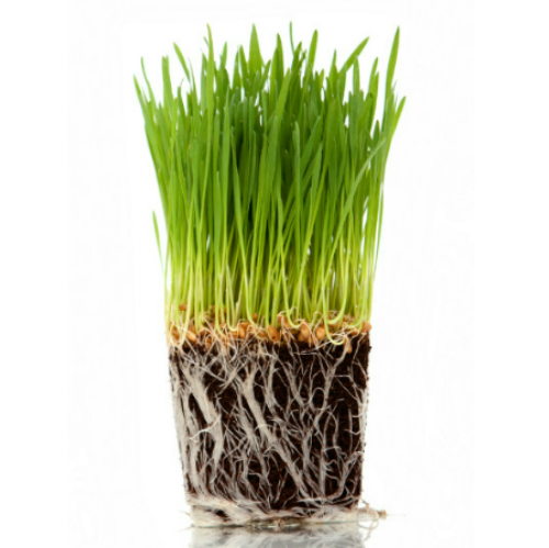 Cold Weather Cat Grass