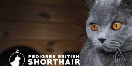 Pedigree British Shorthair.co.uk recommends My Cat Grass