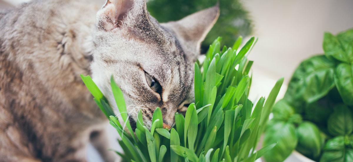 Where to Buy Cat Grass
