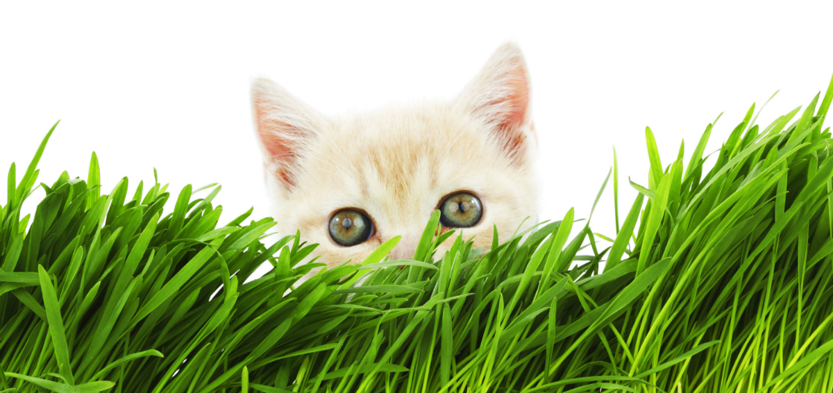 Why Does My Cat Eat Cat Grass?