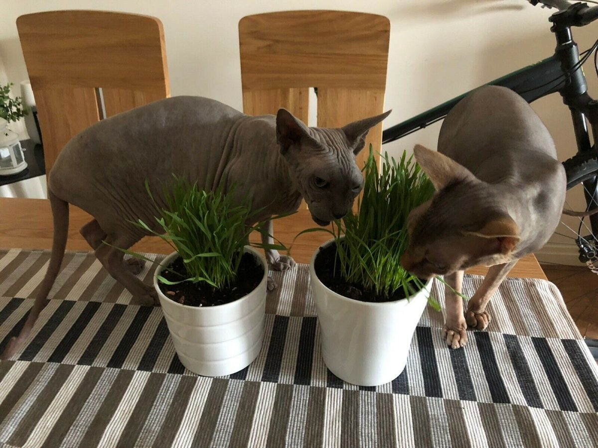 Dixee Enzo and Nikol Michalek Recommend My Cat Grass