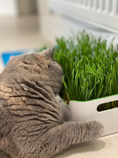 Cat Grass Station Tray Regular