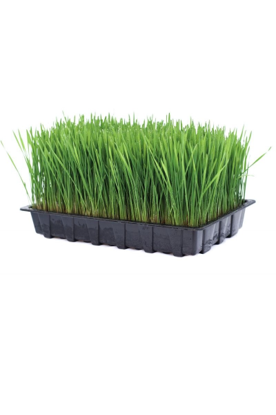 Ready Grown Cat Grass Tray (Large Size)