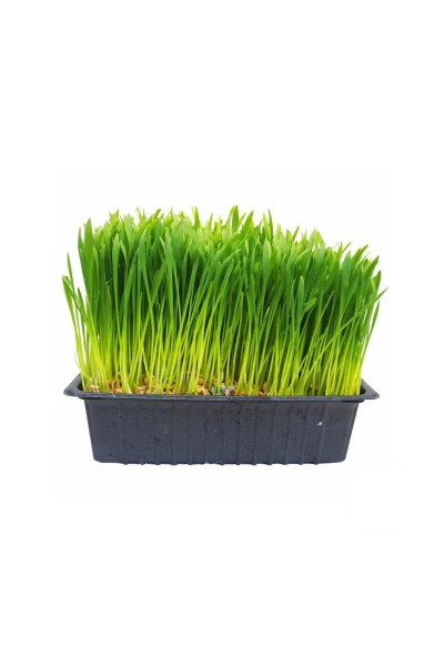 Ready Grown Cat Grass Tray (Regular Size)Cat Grass Tray (Regular Size)