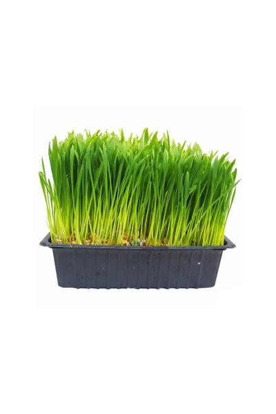 Ready Grown Cat Grass Trays