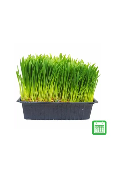 Ready Grown Cat Grass Tray (Regular)