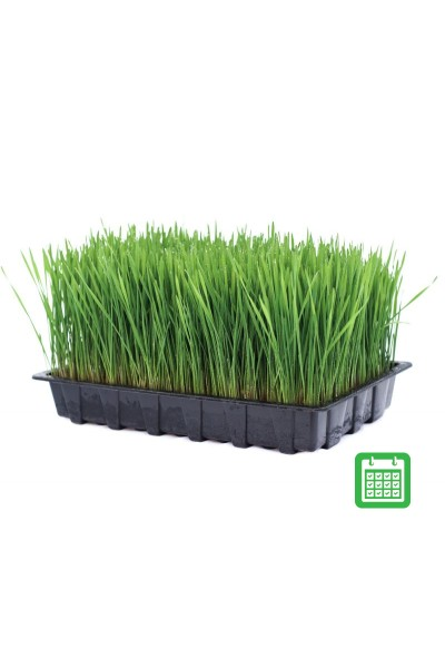 Ready Grown Cat Grass Tray Subscription - Large