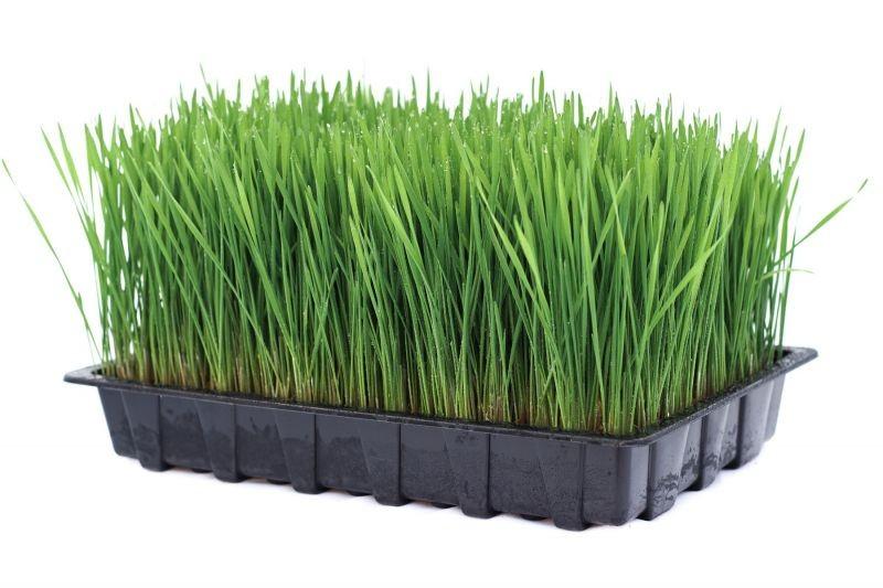 Ready Grown Cat Grass Tray