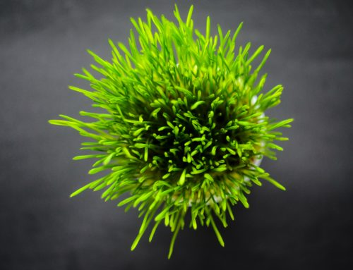 What type of grass is best for cats?