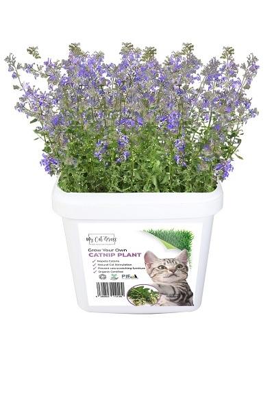 Grow Your Own Catnip Plant